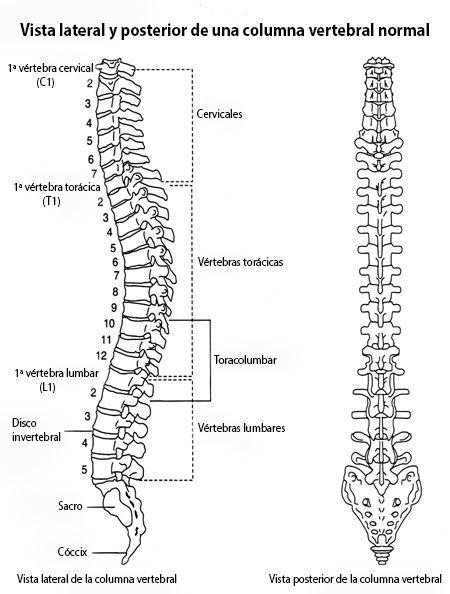 Una ilustración anatómica que representa vistas delanteras y ...
