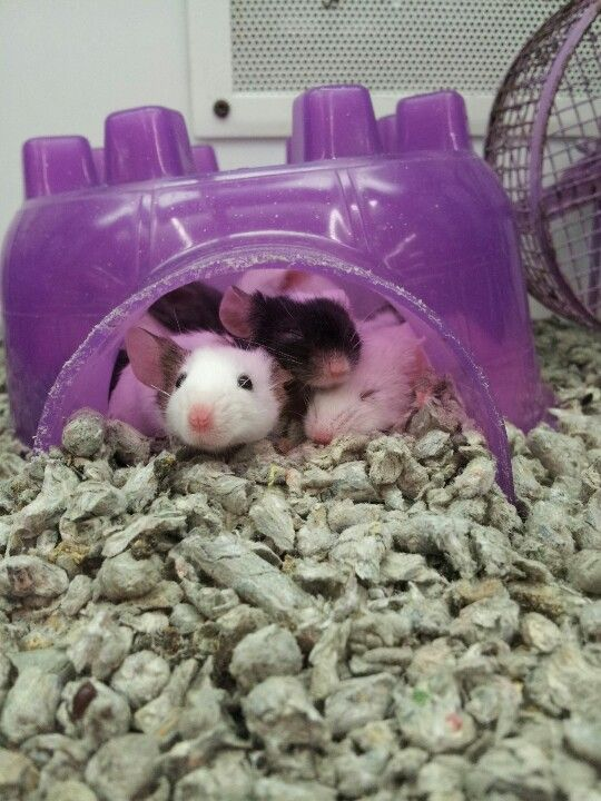 Sleepy Mice At The Local Pet Store Pet Mice Pet Rodents Fancy Mouse