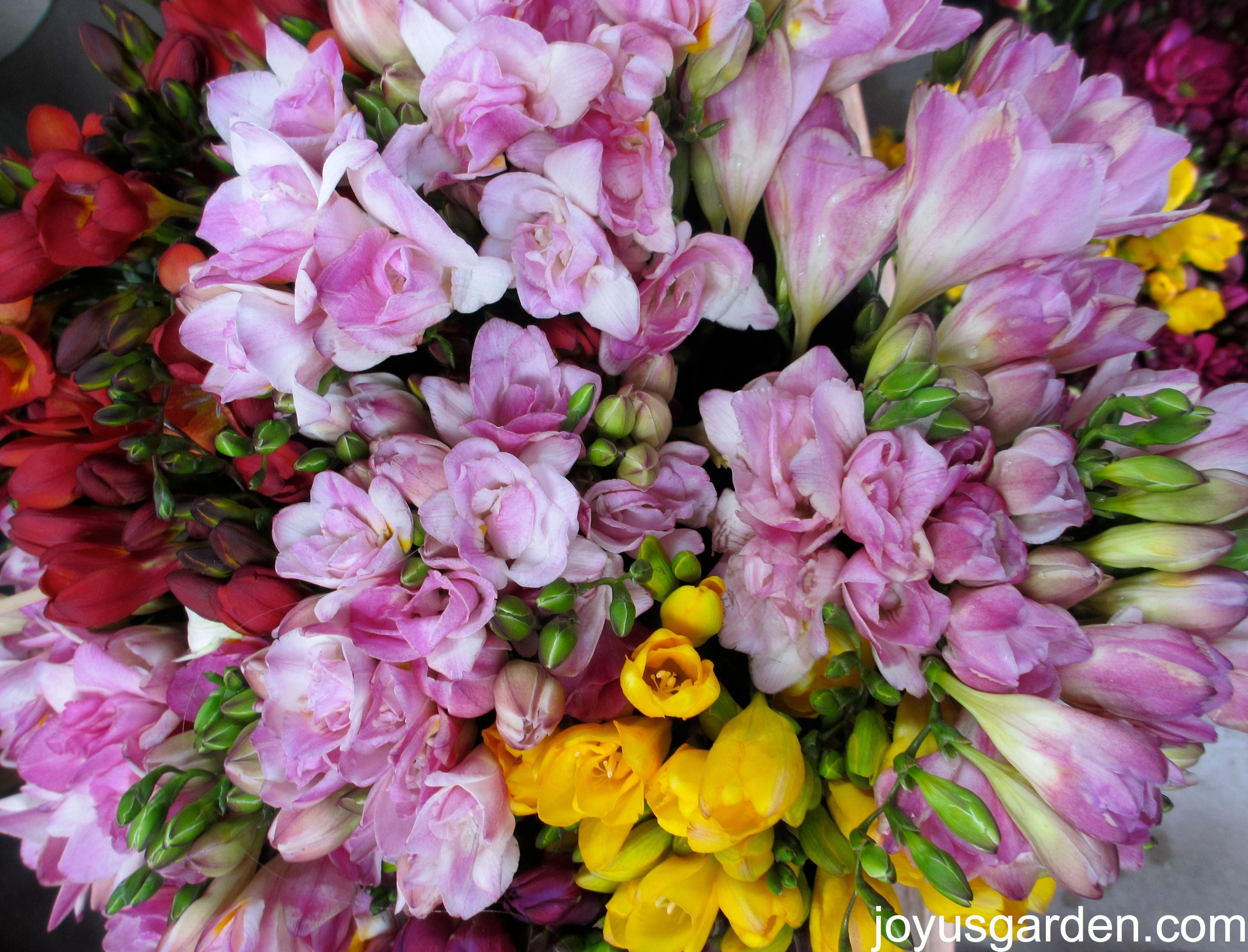 Buckets of sweet smelling Freesias. (With images ...