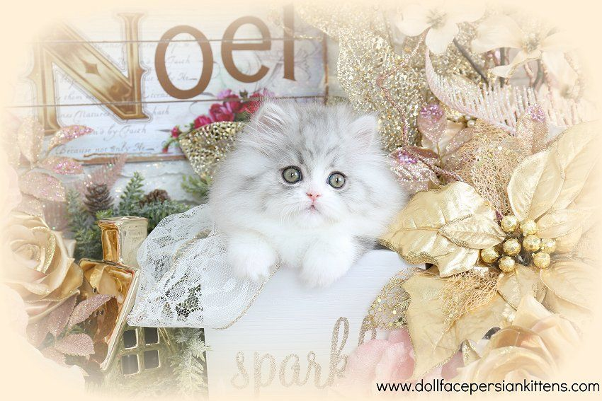 Kenna Click Here Ultra Rare Persian Kittens For Sale 660 292 2222 Located In Northern With Images Persian Kittens For Sale Teacup Persian Kittens Persian Kittens