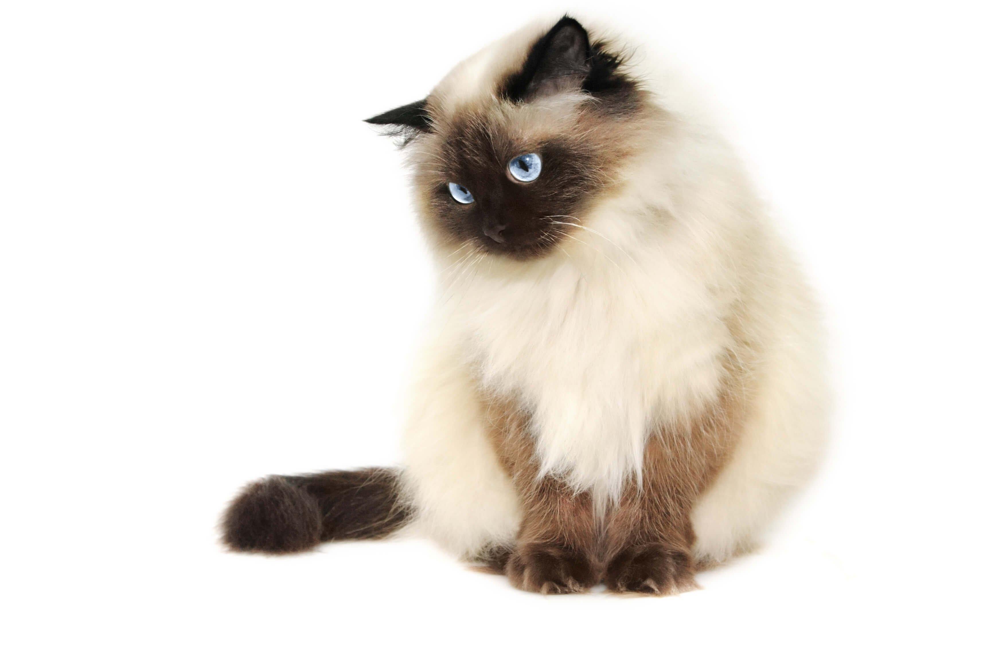 himalayan cat himalayan cat persian himalayan cat blue