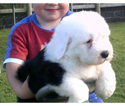 Gqwrazv Old English Sheepdog Puppy For Sale Now Is A Old English