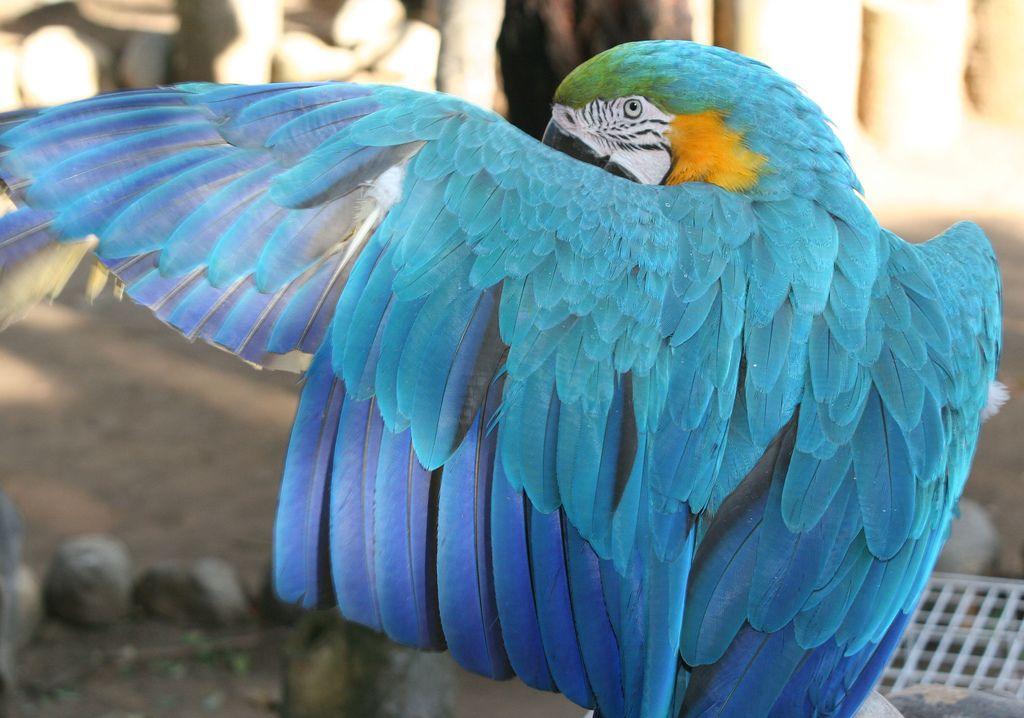The Back of A Blue-and-Yellow Macaw.