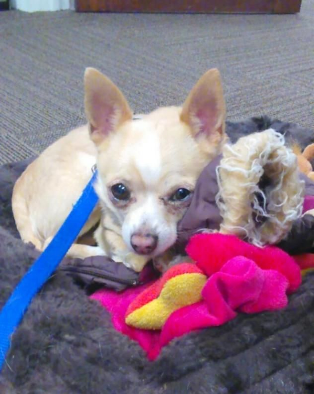 Adopt Max On Chihuahua Rescue Chihuahua Dogs Foster To Adopt