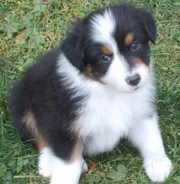 Hi, I'm an adorable black tri aussie puppy! Community