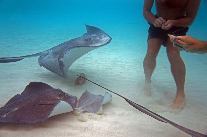 Feeding stingrays at Stingray City, Grand Cayman. | mjsailing.com | sailing blog
