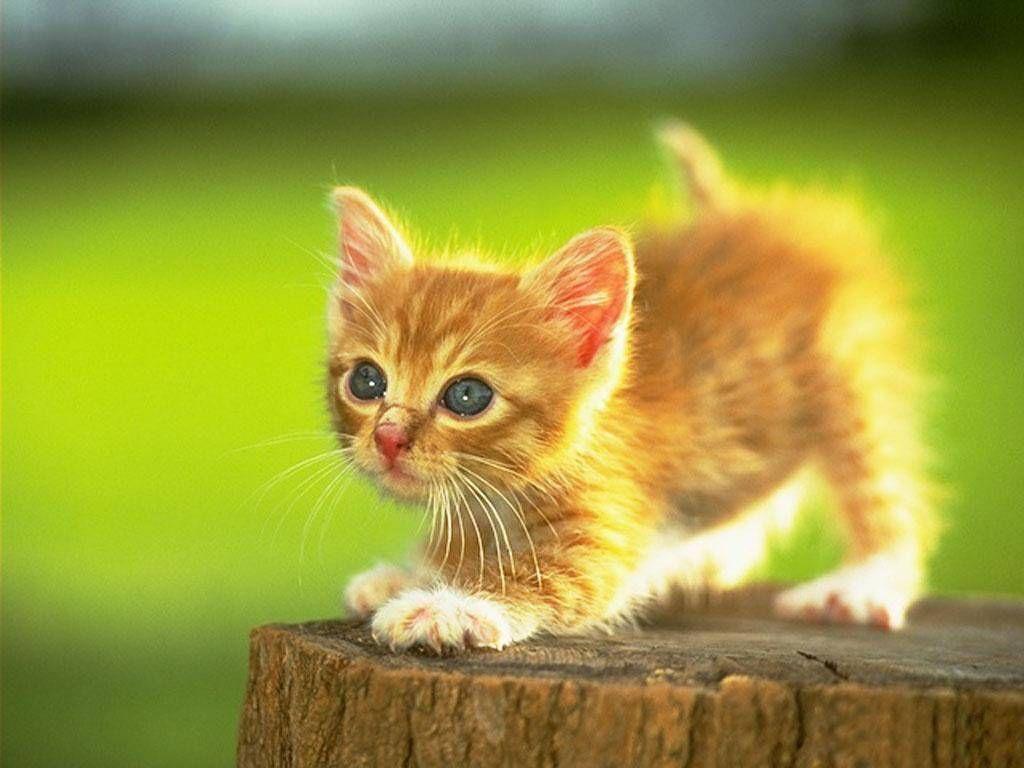 orange kitten aww cutie Kittys Pinterest