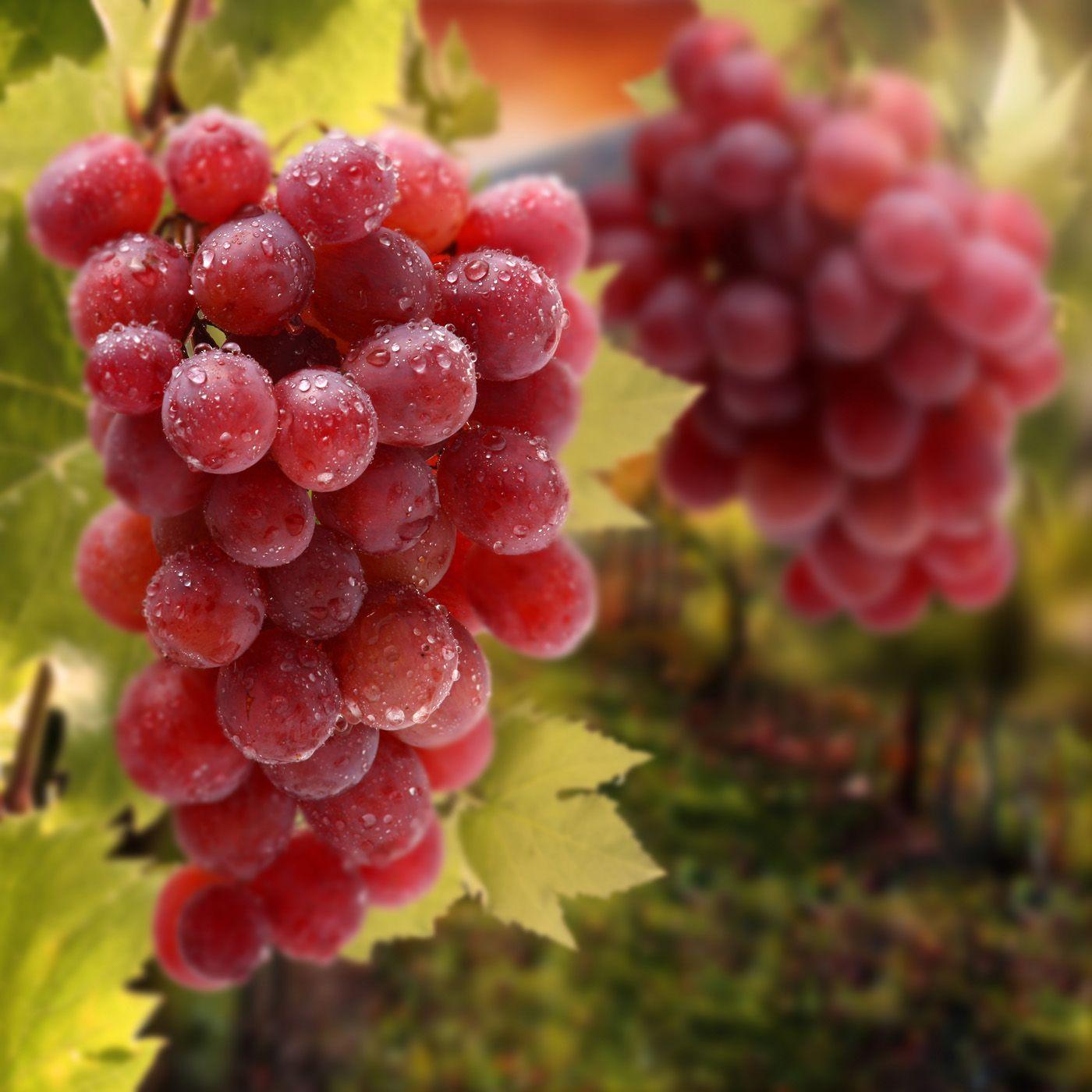 Grapes Grapes Benefits Grape Juice Benefits Grapes