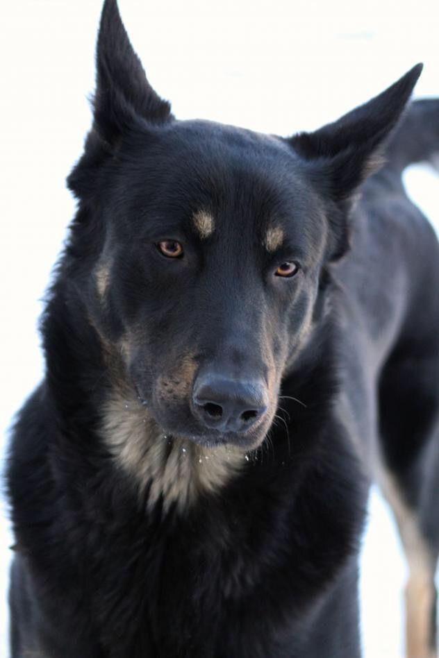 German Shepherd Rottweiler Mix Rottweiler Rottweiler Mix Dog