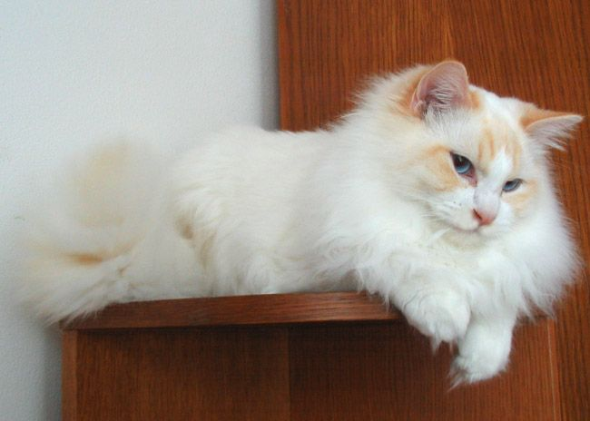 Colors And Varietes Of Ragdoll Breed Ragdolls Cattery Faelis Birman Cats Pinterest