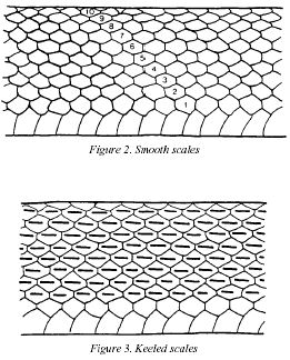 Snake scale pattern  | Science in 2019 | Snake drawing