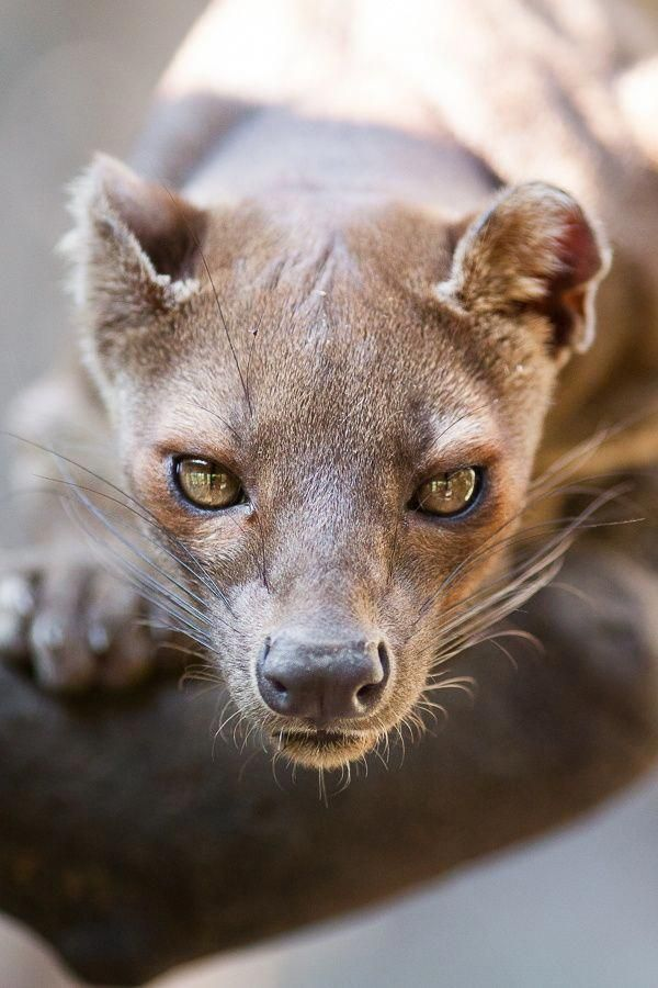 Fossa: is a cat-like, carnivorous mammal that is endemic to Madagascar. It is a member of the Eupleridae, a family of carnivorans closely related to the mongoose family. The fossa is the largest mammalian carnivore on the island of Madagascar and has been compared to a small cougar. Adults have a head-body length of 70–80 cm (28–31 in) and weigh between 5.5–8.6 kg (12–19 lb), with the males larger than the females | JUST DON'T be the cause of this beautiful animal's demise | DON'T BUY