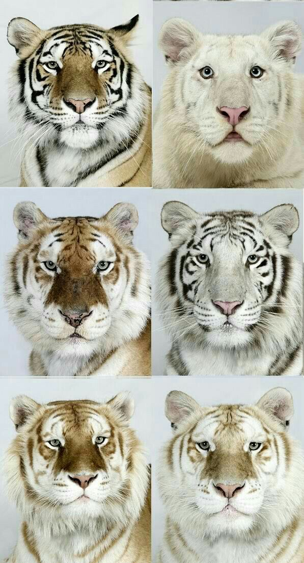 Big Cats Rare animal because of its cuteness. There are