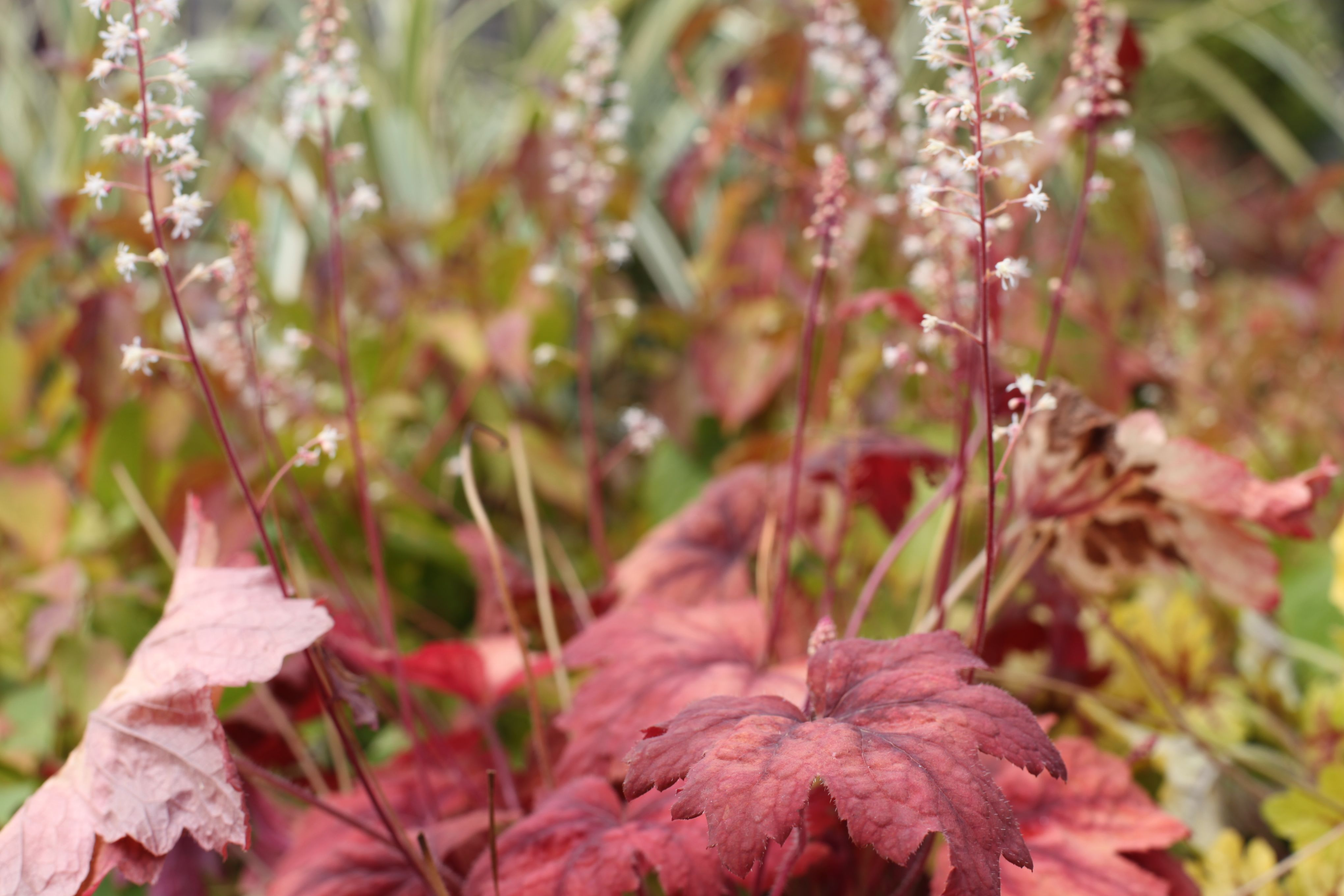 Heuchera 'Sweet Tea' - Large deeply lobed, burnt orange leaves that have richer plum central blotch and veining. Shade loving perennial, a wonderful container plant. www.thepavilion.ie