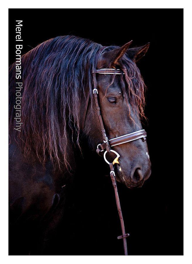 Jingles by Merel Bormans, via 500px - A Friesian x Arabian horse