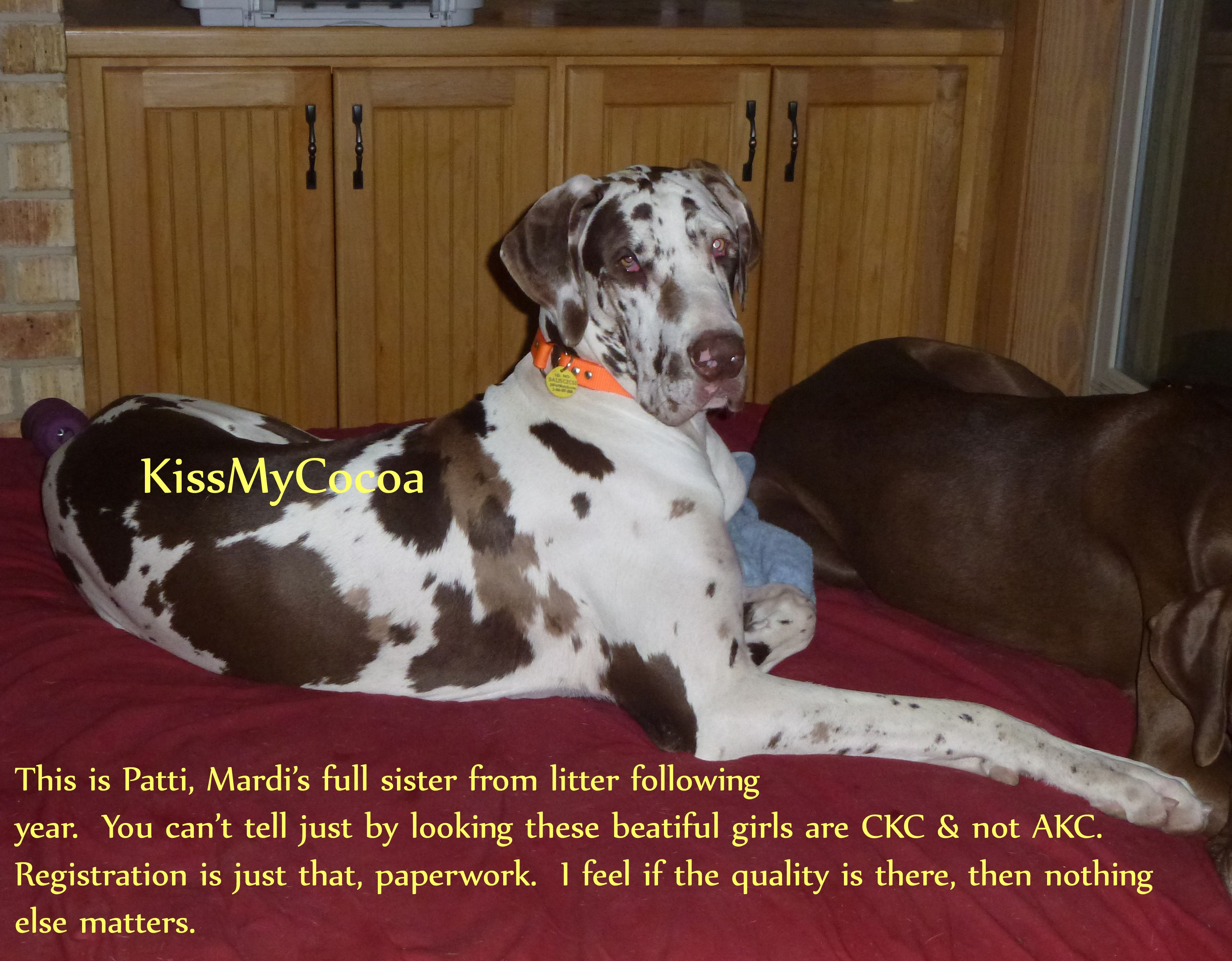 Pattie is a chocolate harlequin GREAT Dane by Kiss My Cocoa ...