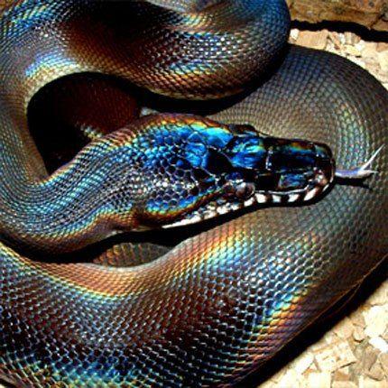 White lipped python | snakes | Rainbow snake, Snake, Beautiful snakes