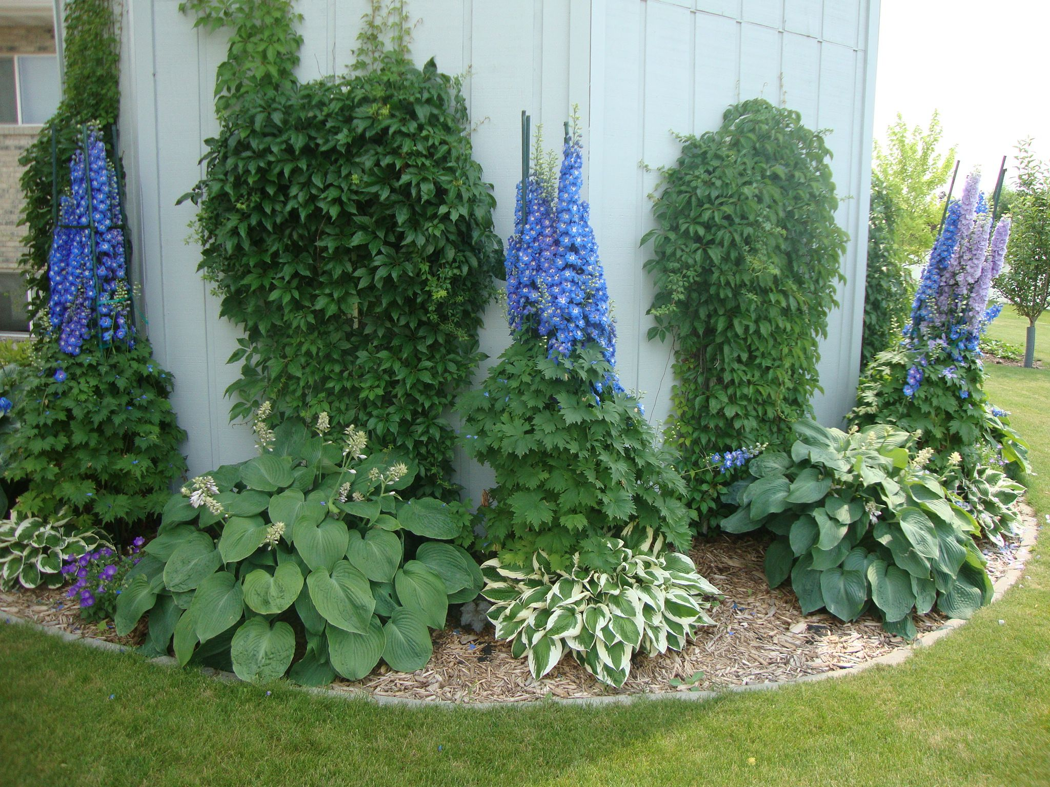 Hostas And Delphiniums   Yes, They Can Grow Together! Delphs Take More  Shade Than