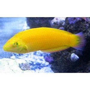 Yellow Wrasse Mandarin Fish Fish Wrasse