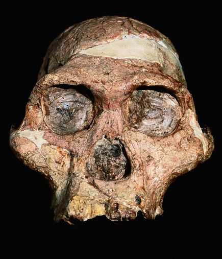 a study of the australopithecus The study indicated that australopithecus sediba-- a short, gangly hominid that lived in south africa -- ate harder foods than other early hominids, targeting trees, bushes and.
