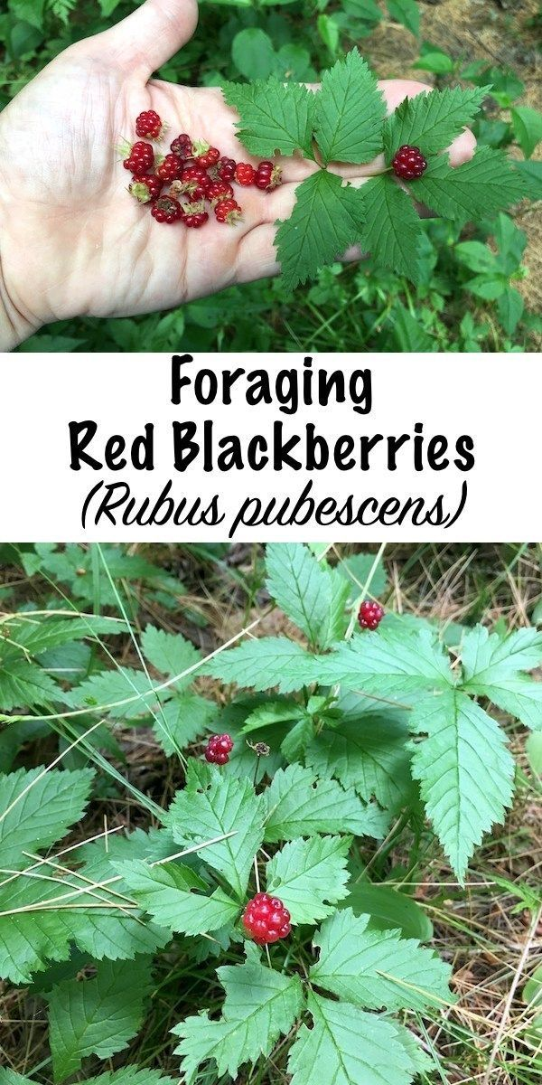 Foraging Red Blackberries (Rubus pubescens) | Wild edibles ...