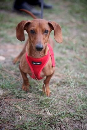 Adopt Lego A Lovely 6 Years 1 Month Dog Available For Adoption At