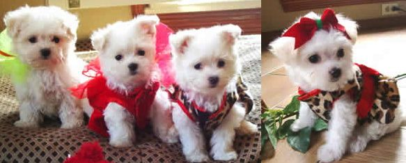 Teacup Maltese Puppies For Sale In Texas Baby Malteser Bilder