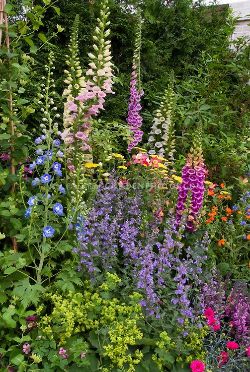 Mixed Late Spring / Early Summer Garden Of Nepeta Catmint, Tall Vertical  Perennial Plants Of