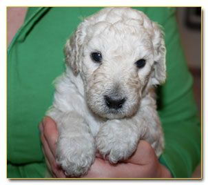 The Poodle Patch 5 Week Old Standard Poodle Puppy Look At The