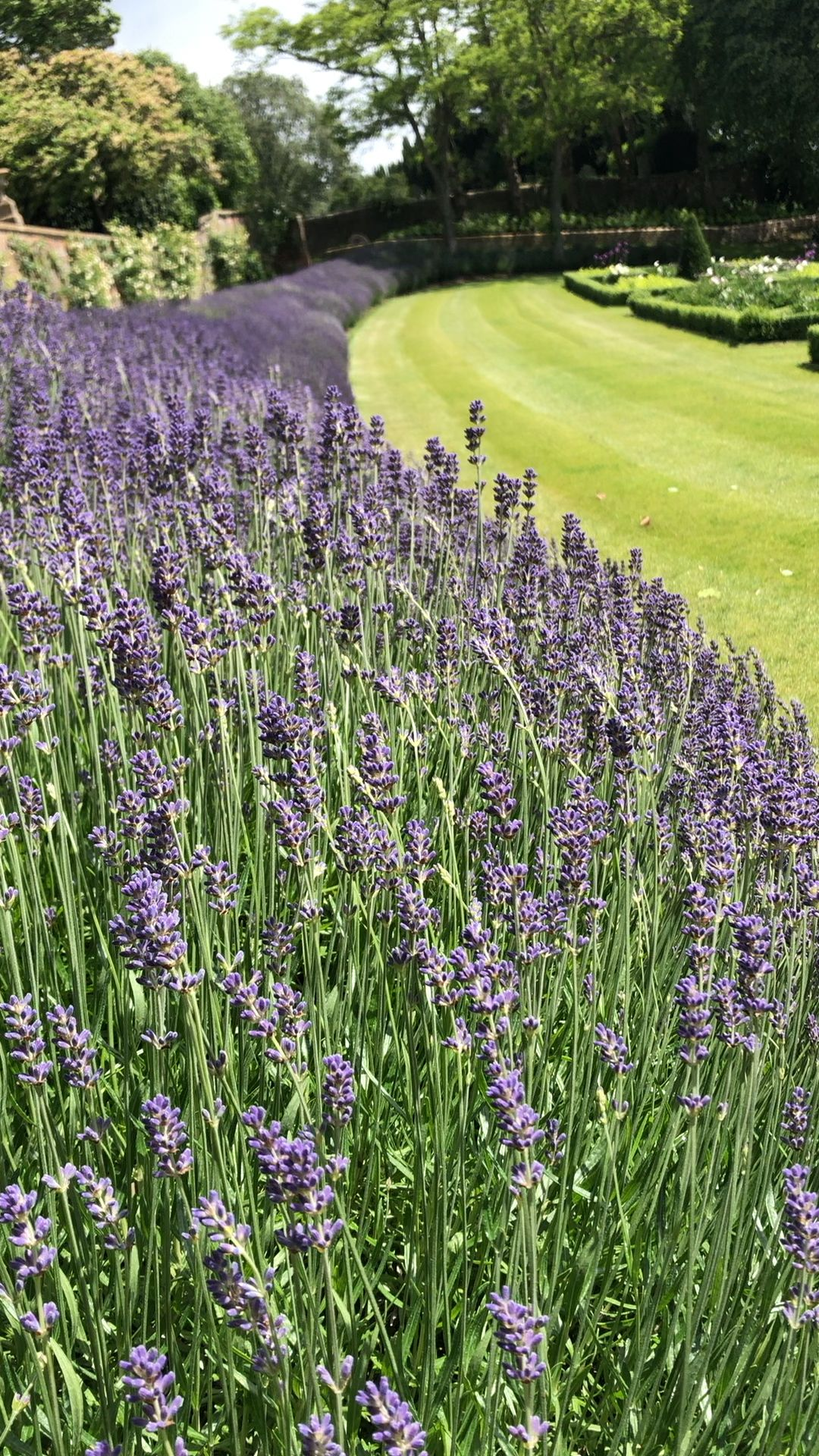 Photo of Wind blowing through the lavender