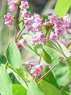 Spreading Dogbane Flowers Apocynum Androsaemifolium With Images