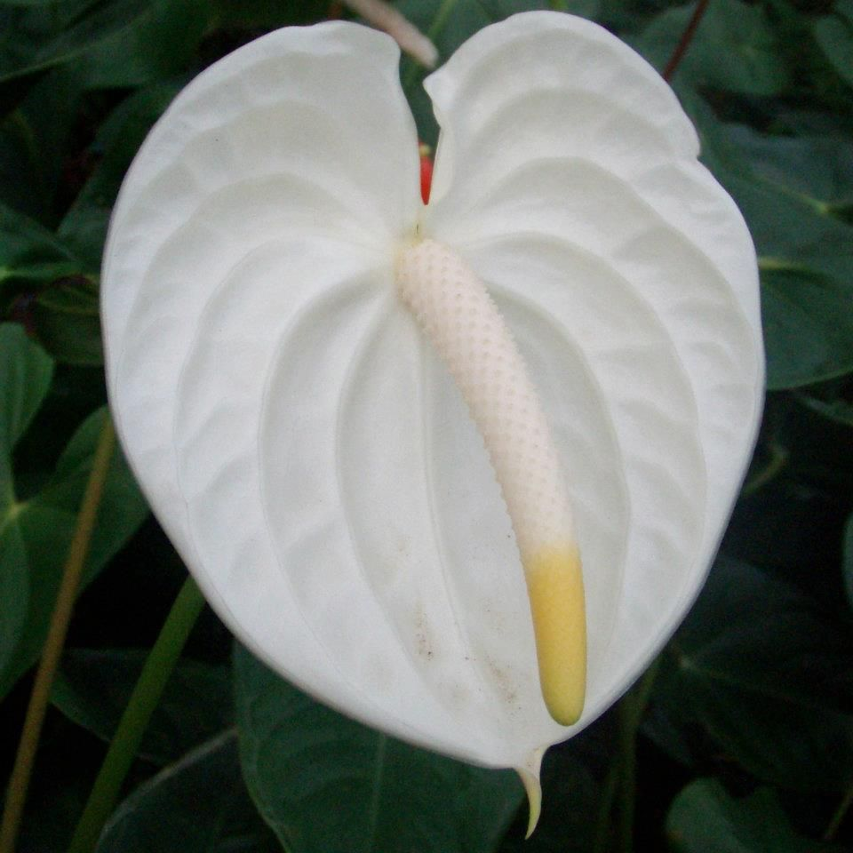 White Anthuriums Are So Delicate Looking Anthurium Flower Anthurium Flowers