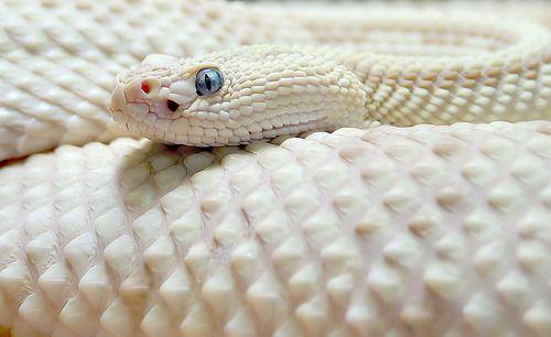 Eastern Diamondback Rattlesnake C Kai Rosler Albino Animals Animals Snake