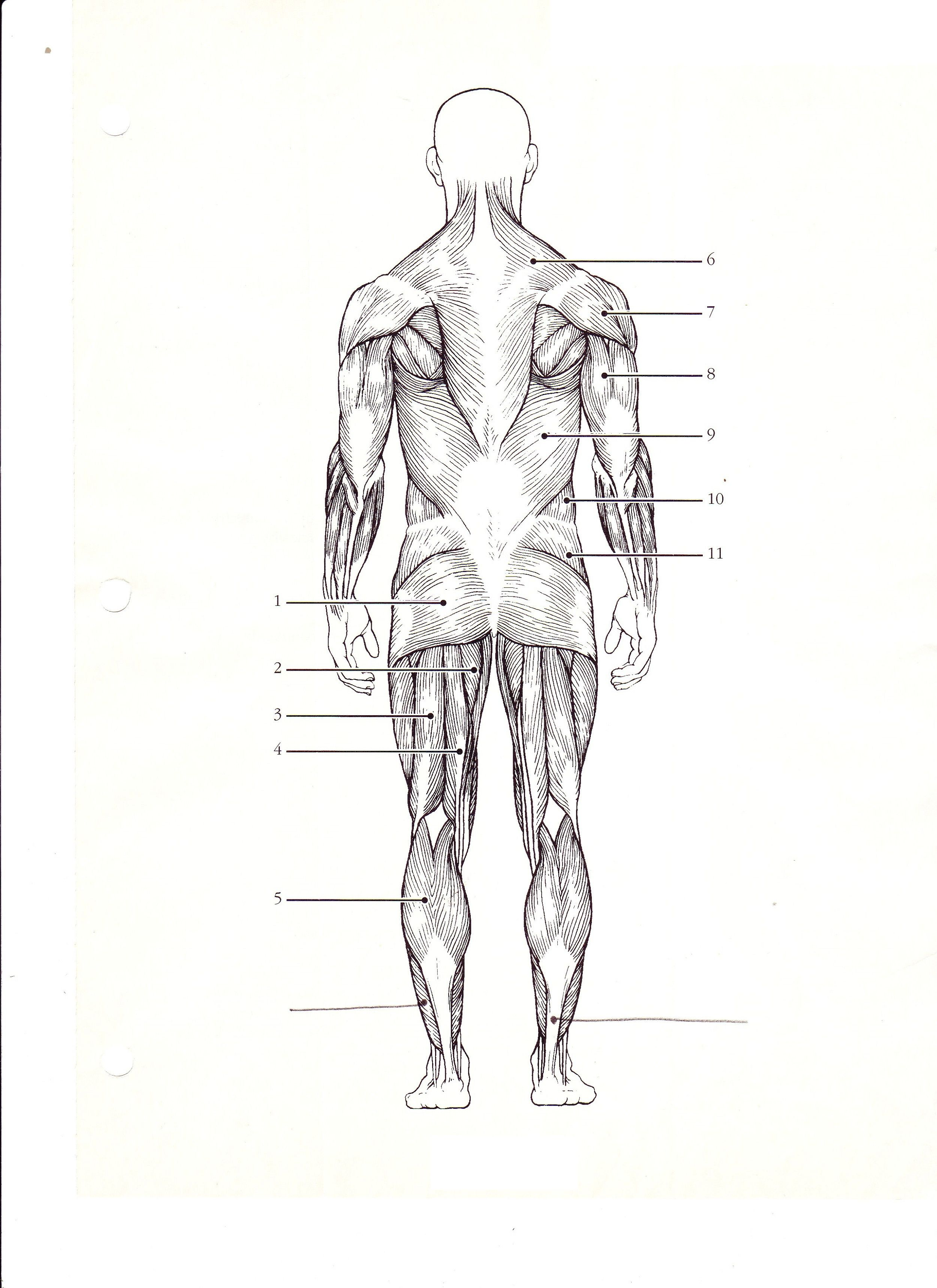 25 Diagram Of The Muscular System