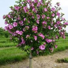 How To Plant A Hibiscus Syriacus Minerva Google Search