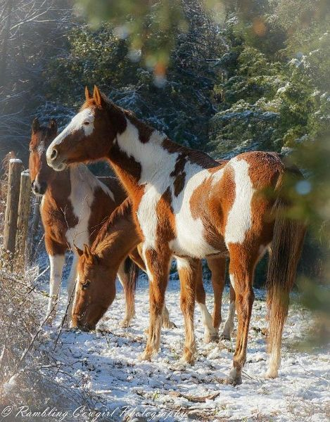 rambling cowgirl photography snow ponies nc phography