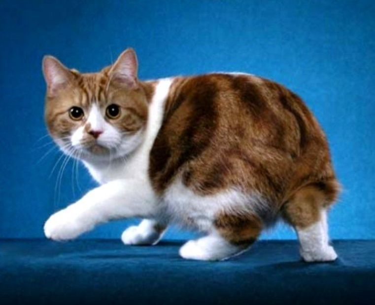 Pin By 𝙰𝚞𝚛𝚊𝚕𝚒𝚜 On Cat Manx Cat Bobtail Cat Manx Kittens