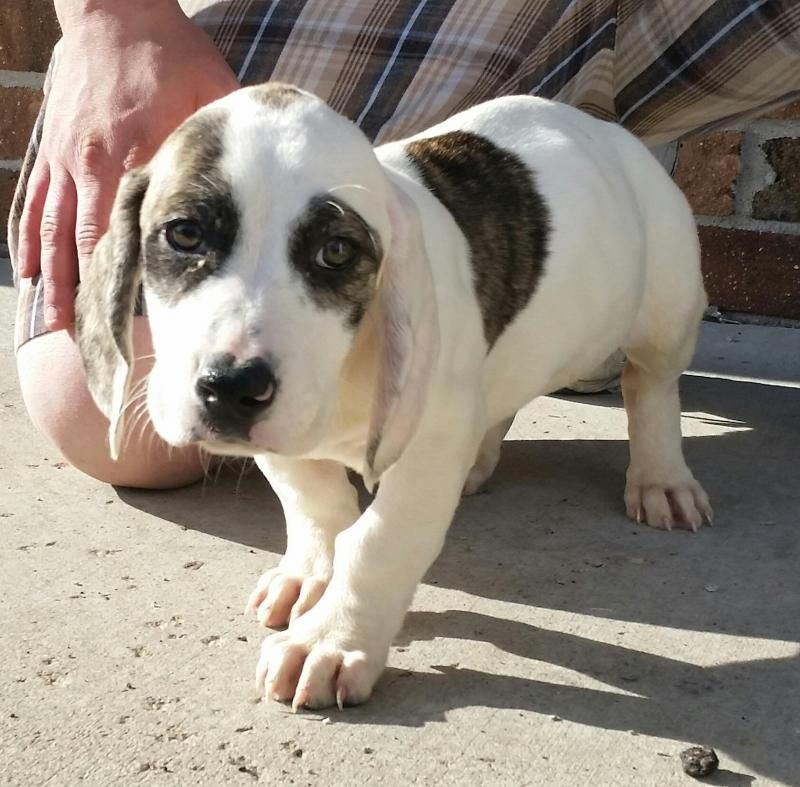 Adopt Hydra On Petfinder Hound Dog Basset Hound Dog American Bulldog Mix