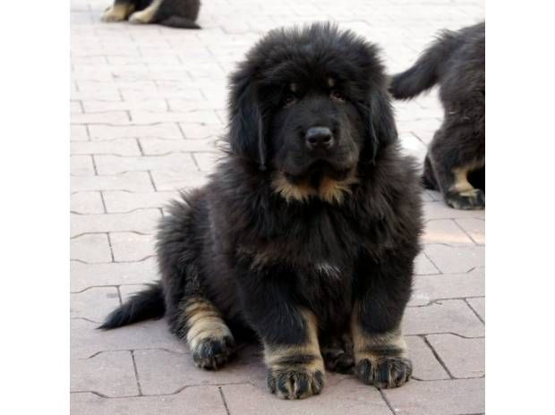 Black Tibetan Mastiff Puppies For Sale | Animals ...