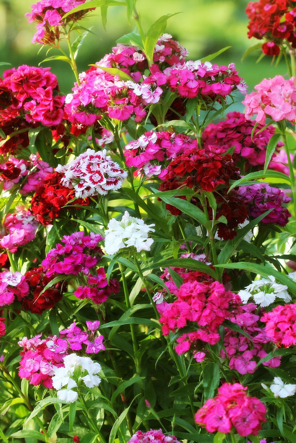 The Only Flowers You Need For A Standout Fall Garden In 2020 Autumn Garden Fall Flowers Dianthus Flowers