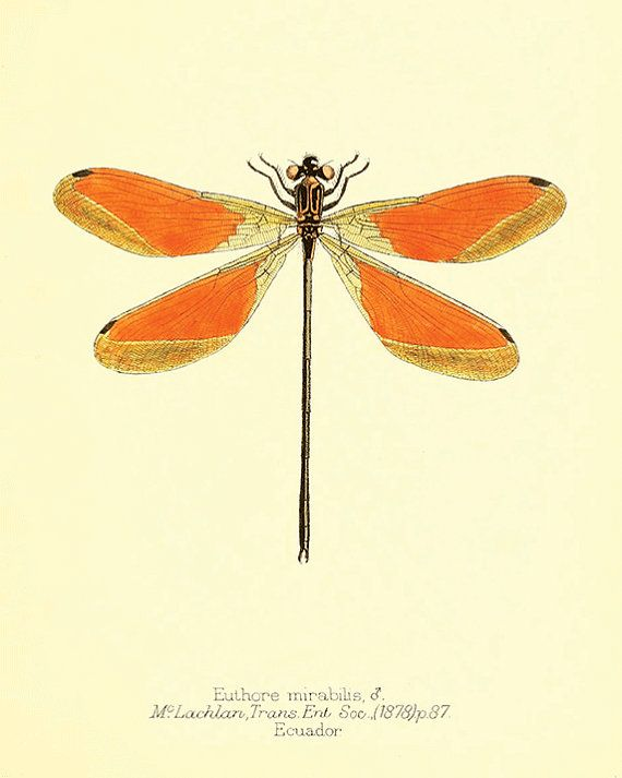 Dragonfly art print Antique Prints Nature print Vintage prints home ...