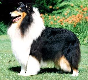 Rough Coated Collie Hybrid Dogs Yes Or No Scottish Animals