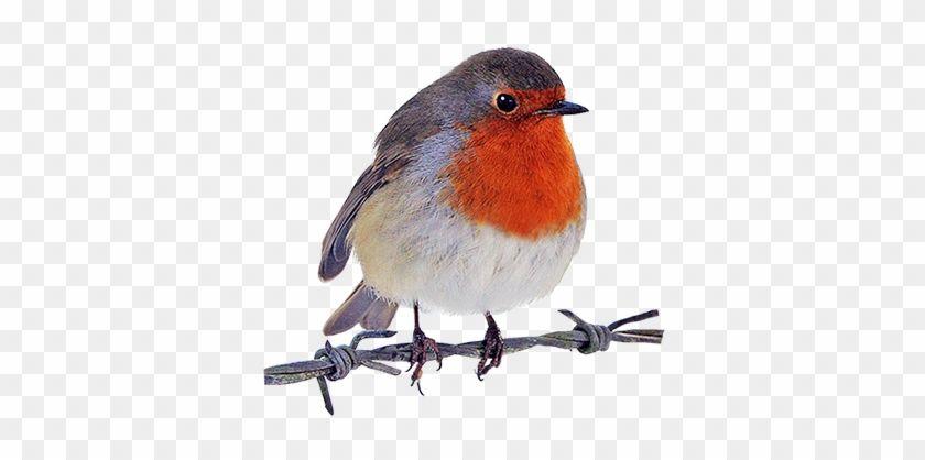 Robin Clipart Robin Bird Png 8456 4 Personal Use Robin Bird Bird Clip Art