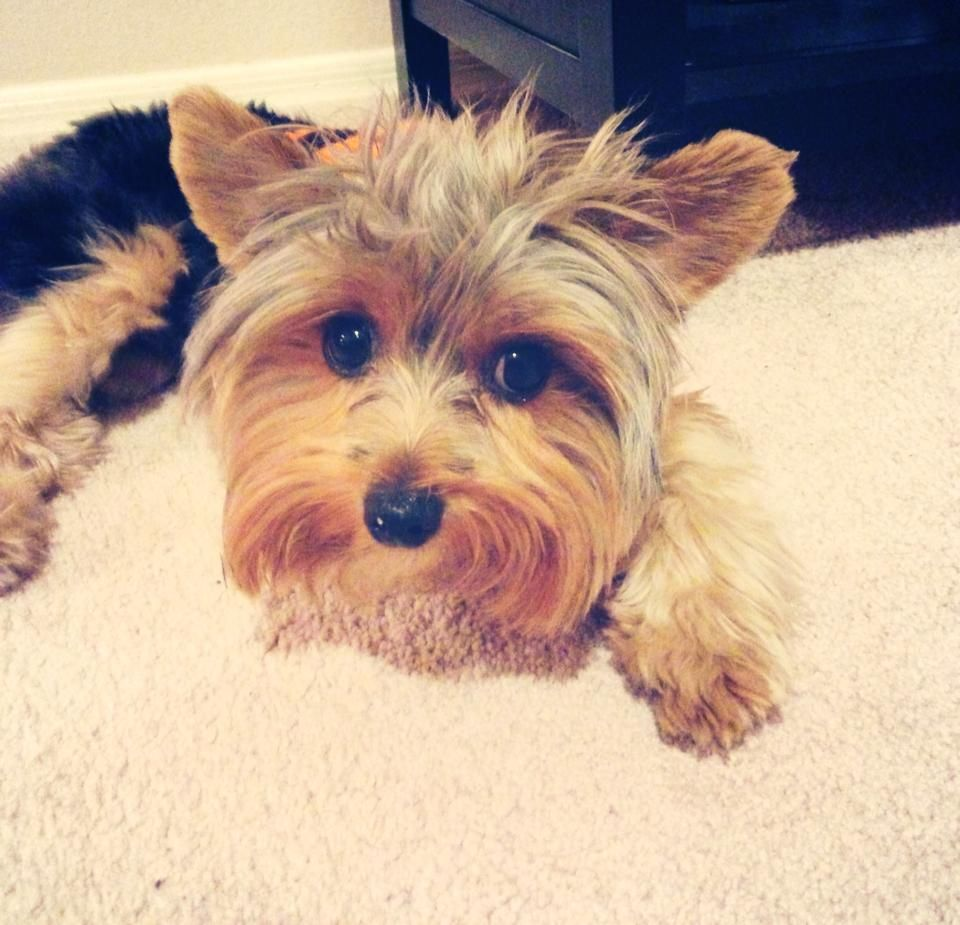 Pin By S W On Yorkies With Images Yorkshire Terrier Yorkie