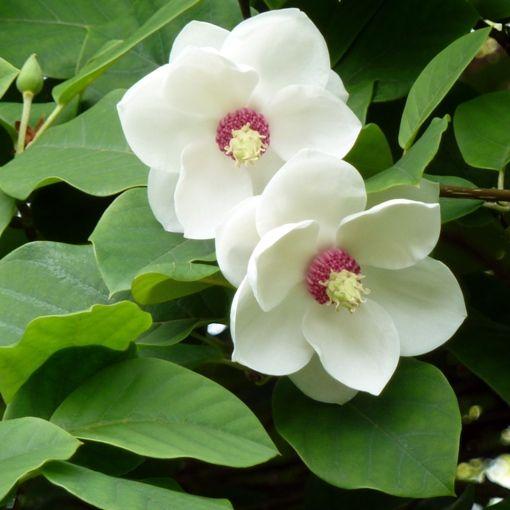 Fiori Bianchi Ombra.Magnolia Sieboldii Vaso O24cm Pianta Generosa E Senza Problemi