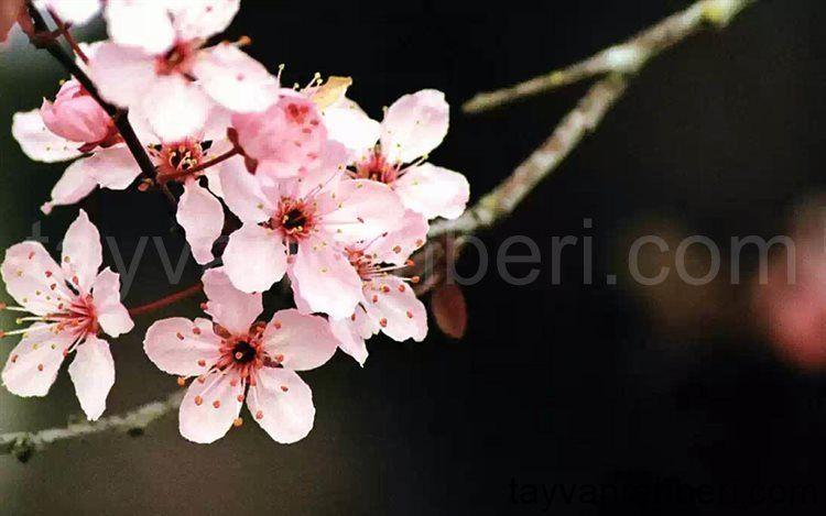 Hd Blumen Wallpapers Hintergrundbilder In 2020 Kirschblute Wallpaper Blumen Wallpaper Japanische Kirschbluten