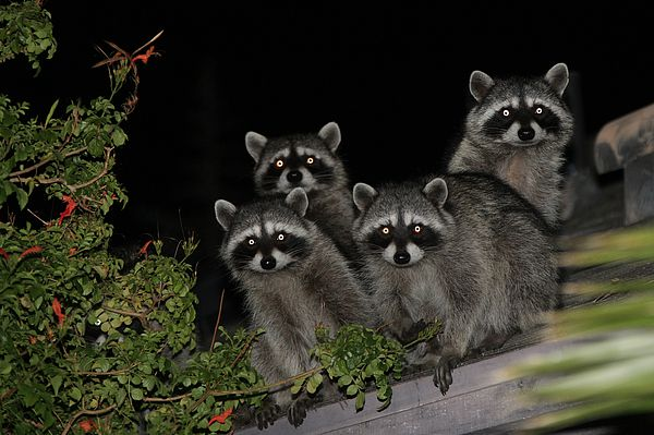 Party Of Five On The Roof Top By Nina Prommer In 2020 Trash Panda Cute Animal Pictures My Spirit Animal