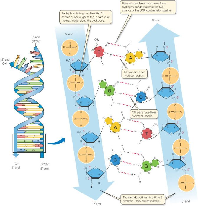 Base Pairing In Dna Is Complementary Teaching Chemistry Molecular Biology Dna And Genes