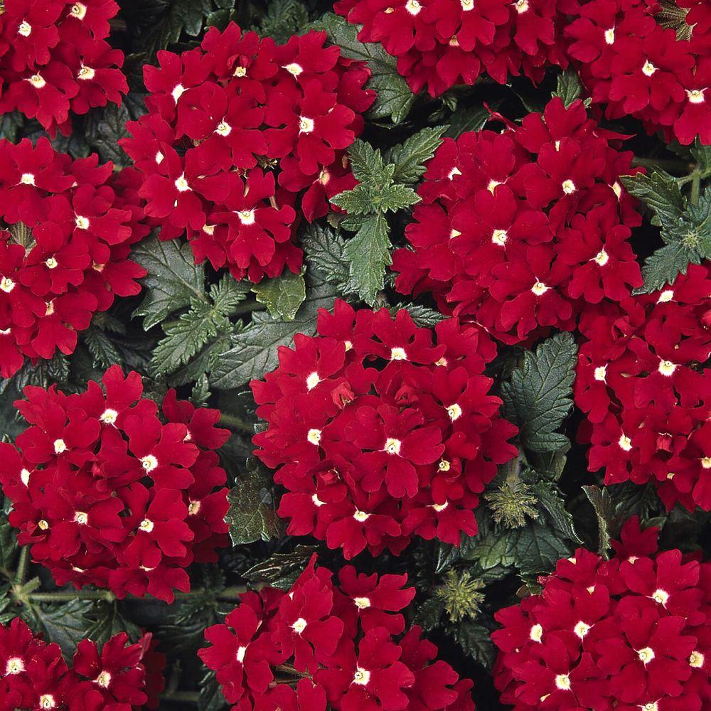 Partial Sun Flowers Perennials Verbena Aztec Red Velvet Log House Plants