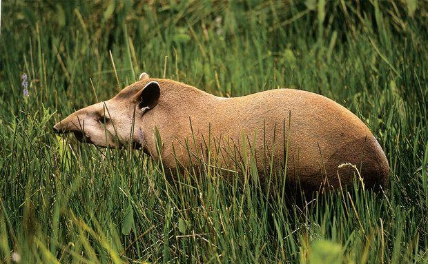 Anta Tapidus Terrestris Mamifero Vive Na Mata Atlantica Amazonia E Cerrado Com Imagens Animais Da Amazonia Animais Do Cerrado Animais Brasileiros